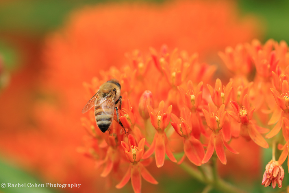 &quot;Butterfly Weed Love&quot;<br />