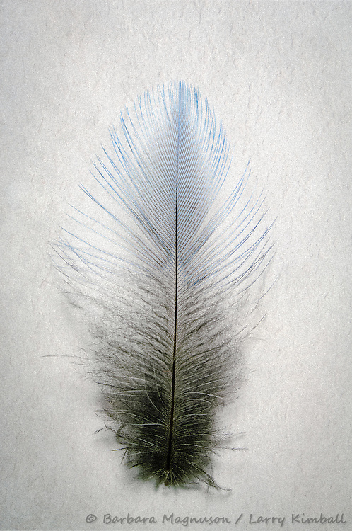 Mt. Bluebird [Sialia currucoides] feather, detail; Fremont County, Colorado