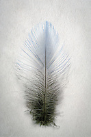 Mt. Bluebird [Sialia currucoides] feather, detail; Fremont County, Colorado