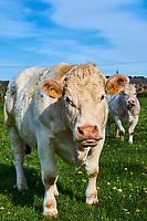France, Saône-et-Loire (71), Brionnais, Amanze, boeuf charolais // France, Burgundy, Saône-et-Loire, Brionnais, Amanze, Charolais beef