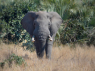 Elephant in  Kruger NP, South Africa
