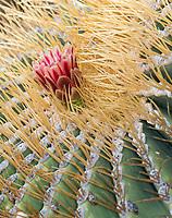 Giant barrel cactus flower detail on Isla Santa Catalina in Bahia de la Loreto National Park in the the Gulf of California, Mexico.