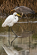 A Great White Egret walks past a Tricolored Heron along the reeds at Gould's Inlet in St. Simons Island, Georgia.