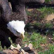 Bald Eagle landing, Turtleback Zoo, West Orange NJ