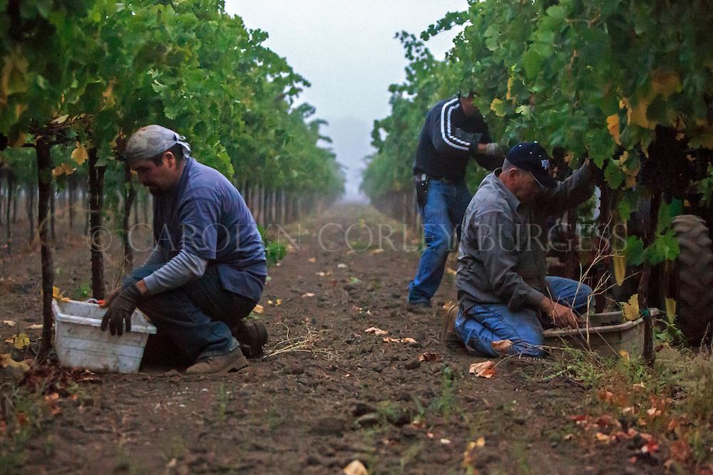 foggy morning pick at Swanson Vineyards in Oakville, California.