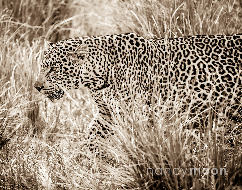 Leopard walking through the high grass in the Masai Mara located in Africa.<br />