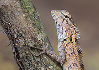 Female Oriental Garden Lizard (Calotes versicolor), Yala National Park, Sri Lanka