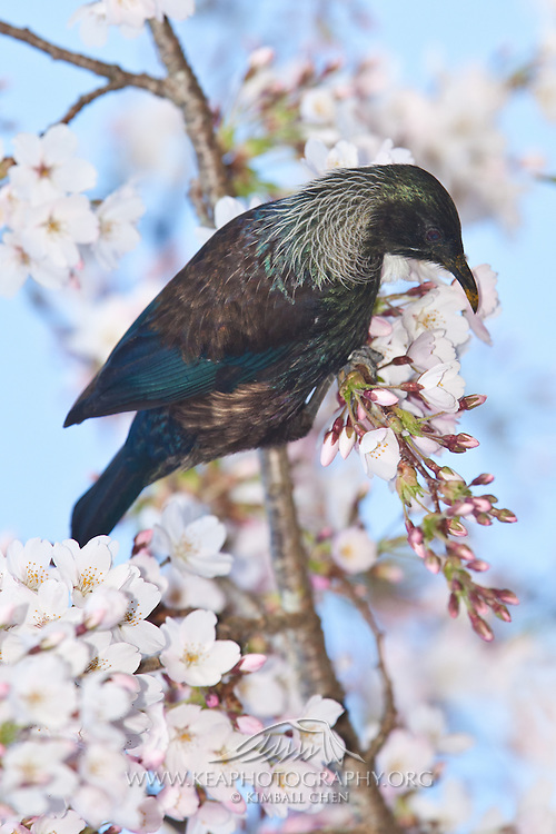 Tui, blossom tree, New Zealand