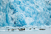 Harbor seals hauled out on icebergs in front of South Sawyer Glacier in Tracy Arm, part of the Tracy Arm - Fords Terror Wilderness, Alaska.