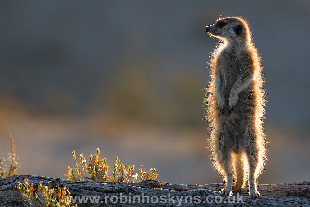 A sentinel Meerkat standing guard on the lookout for predators or rival groups.