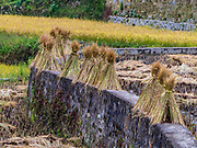 Harvested rice in the Rice Paddies, Yunnan, China