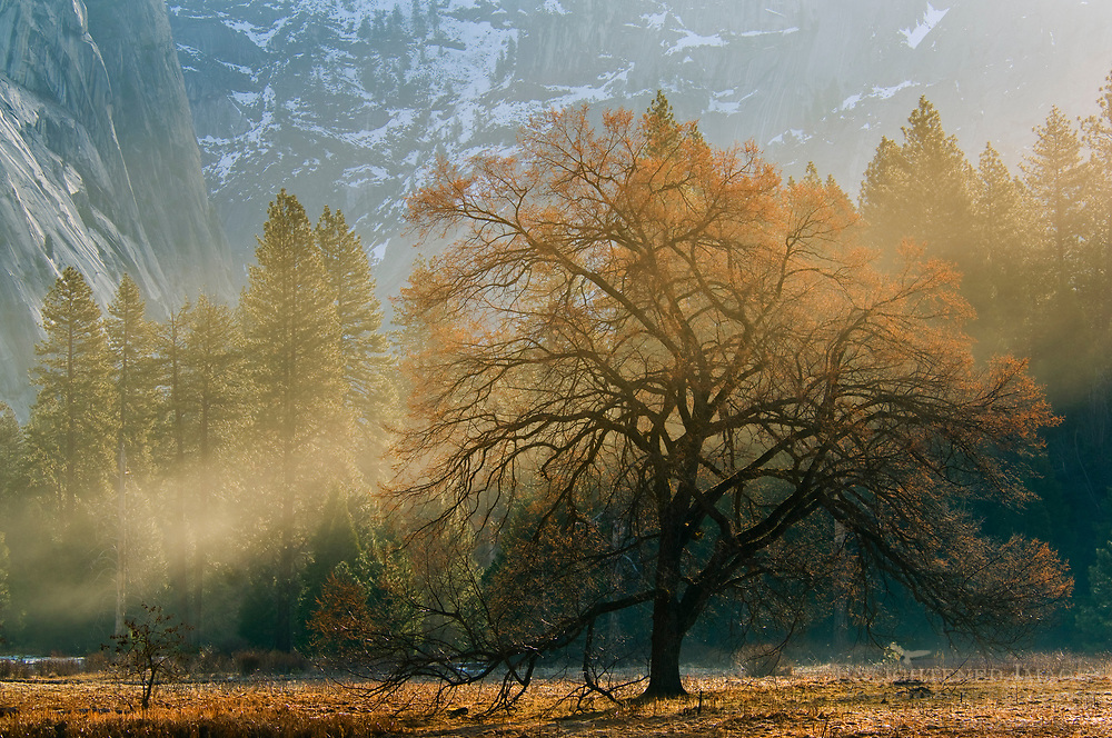 Mist and sunlight on maple tree in spring meadow, Yosemite Valley, Yosemite National Park, California