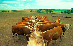 Cattle Feeding in Field Agriculture