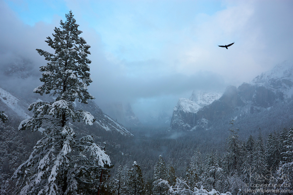 A raven flies over the Yosemite Valley during a brief break between snow storms. Yosemite National Park receives the most snow in January and February with an average snow depth of 6.5 inches (16.5 centimeters) on the valley floor during those months. Bridalveil Fall, one of Yosemite's iconic waterfalls, is visible in the right-center of the image. El Capitan, the largest exposed granite face in the world, is shrouded in snow clouds at the center-left.