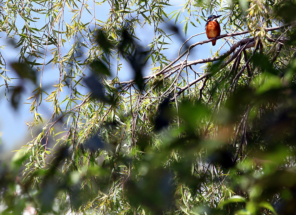 Kingfisher in Lijiang Yunnan, China; September, 2013.