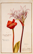 Haemanthus (blood lily) 17th century hand painted on Parchment botany study of a from the Jardin du Roi botanical Florilegium of Prince Eugene of Savoy collection, Paris c. 1670 artist: Nicolas Robert