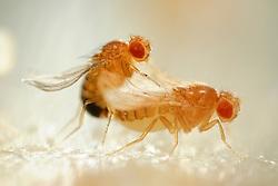 """Mating Fruit Fly (Drosophila melanogaster) in a lab culture (female:yellow curly and orange type)(male:yellow and curly type)    Zwei genmanipulierte Taufliegen (Drosophila melanogaster) bei der Paarung. Das Männchen, erkennbar an der geringeren Körpergröße und dem stärker pigentierten Hinterleibsende gehört zu dem Zuchtstamm """"curly"""" mit aufwärts gebogenen Flügeln. Das Weibchen hat als zweites, gentechnisch hervorgerufenes Merkmal eine hell-gelbliche Körperfarbe (Stamm """"curly + yellow""""). Die Stämme sind  im Katalog der Wiener Fliegenbibliothek aufgeführt und bestellbar ist.  Da die Manipulationen am Embryo in Zellen vorgenommen wird, aus denen die Geschlechtszellen des erwachsenen Tieres hervorgehen, sind die hervorgerufenen Eigenschaften erblich. Die Nachkommen, die aus dieser Paarung hervorgehen, werden also ebenfalls manipulierte Individuen sein."""