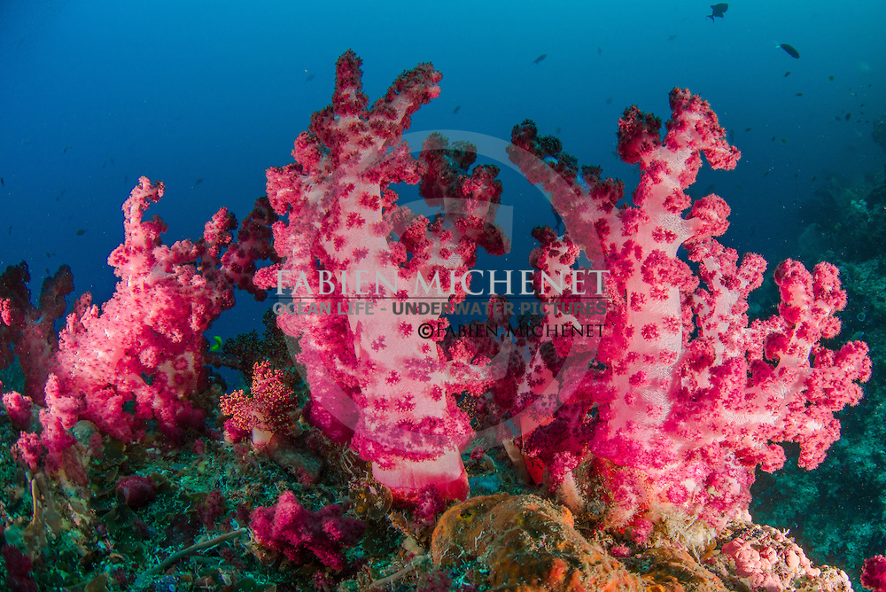 Purple soft coral (Dendronephtya sp.), Raja Ampat Indonesia