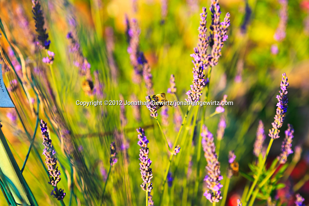 A bumblebee feeds on lavender flowers in a garden. WATERMARKS WILL NOT APPEAR ON PRINTS OR LICENSED IMAGES.