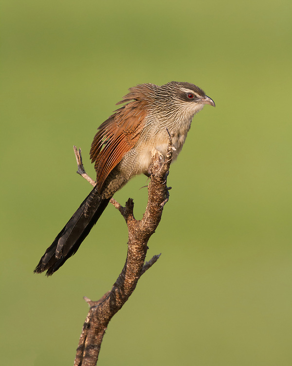 White-browed Coucal (Centropus superciliosus), Tarangire National Park; Tanzania; Africa
