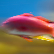 Pink tropical fish, moving fast.<br />