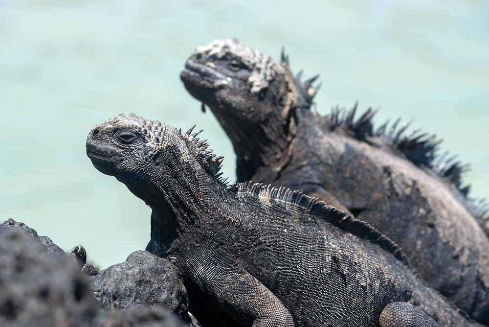Marine iguanas (Amblyrhynchus cristatus) and sea lion, Isabela Island, Galapagos Islands, Ecuador.