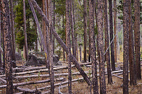 Lodgepole Pine (Pinus contorta latifolia) trees that survived the forest fires that burned large areas in Yellowstone National Park, Wyoming, USA