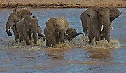 African elephants crossing the river Ewaso Ng'iro in Samburu National Reserve, Kenya.