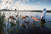 Direct Autumn Release, D.A.R., Whooping Crane reintroduction program at the International Crane Foundation, ICF.