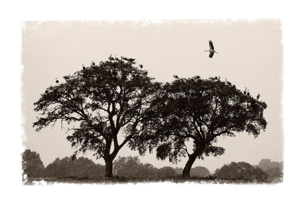 White storks coming in to roost at dusk near Seville, Spain
