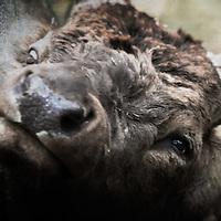 full face bull elk close up for web banner