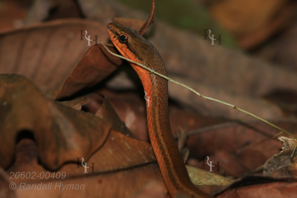 Vine snake in leaf litter of tropical rainforest of Corcovado Conservation Area, Osa Peninsula, Costa Rica.