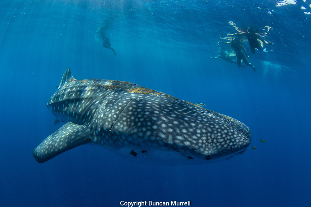 Tourists observing a whale shark (Rhincodon typus), Honda Bay, Palawan, the Philppines.