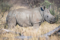 White Rhino Calf, Madikwe Game Reserve, North West Provonce, South Africa