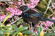 Tui and Cherry Blossoms in spring, New Zealand