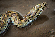 One of Africa's largest nonvenomous snakes...