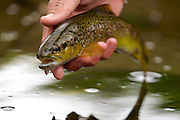 A stunning small wild brown trout