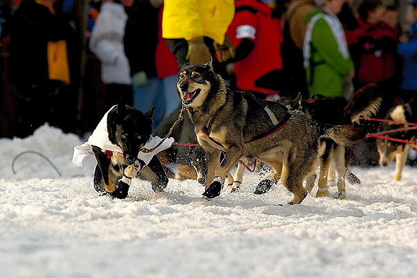 "04 March 2006: Anchorage, Alaska - The lead dogs of former wrestler ""Precious"" Paul Ellering at the Ceremonial Start in downtown Anchorage of the 2006 Iditarod Sled Dog Race"