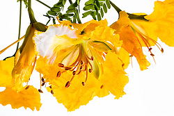 Yellow Poinciana#25