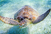 A loggerhead sea turtle in Akumal Bay in Yucatan. Endangered sea turtles have been protected in Mexico since 1990, and both the government and private volunteers have done great work preserving their habitat and helping the turtles.<br /> Now the turtles are in trouble again, and protected habitats can do little to help them. Global warming cause sea level rise, which erode the beaches where the turtles lay their eggs. Warmer weather also affect the gender of the turtle hatchlings. Turtles are reptiles, and the gender is determined by the temperature in the nest. The cooler area of a nest will typically produce more males, while the warmer part will become females. On the Pacific coast of Costa Rica, nests are now producing between 70 and 90 percent female hatchlings. Coral reefs are a vital food source for sea turtles, and the Caribbean region has lost fifty percent of its corals since 2005 largely due to warmer oceans.