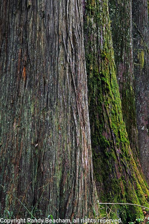 Old-growth cedar hemlock forest. Scotchman Peaks Roadless Area in the Cabinet Mountains, Montana