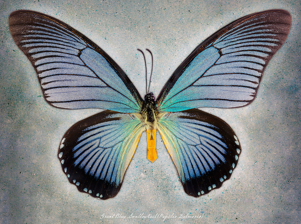 Great Blue Swallowtail (Papilio zalmoxis) / #LPD201b