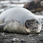 A juvenile Southern Elephant Seal likes in the beach on the beach on Livingston Island in the South Shetland Islands, Antarctica.