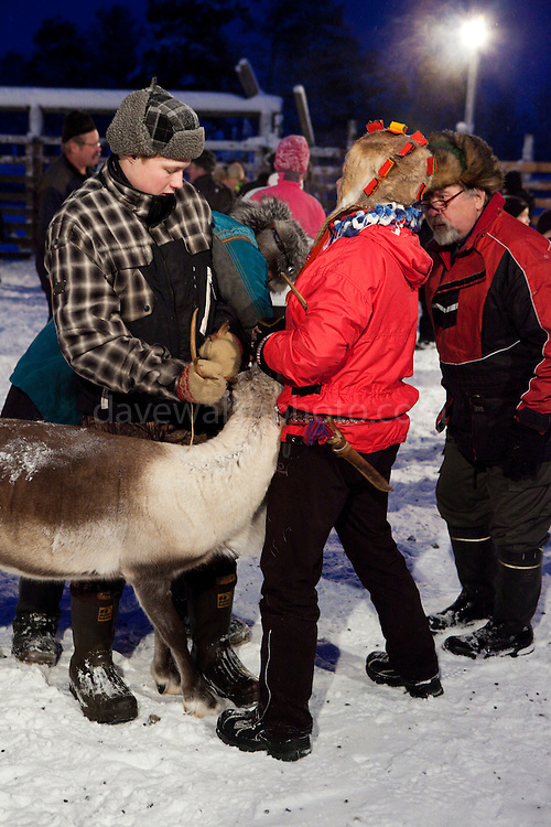 Young people - the girl on the right wears a tradiational sami reindeerskin hat - handle a reindeer at a roundup at Vuomaselkä, Lapland, where semi-domesticated deer are sorted and seperated for breeding, slaughter, returned to their owners, injected for parasites, or released back into the forest.