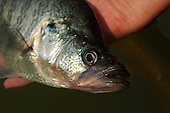 Crappie Stock Photos