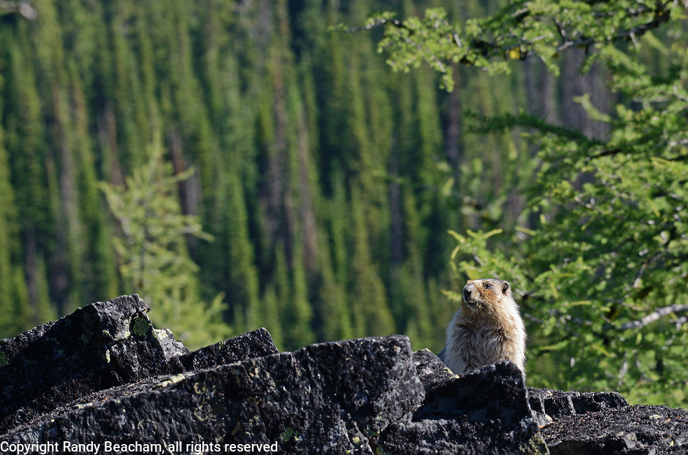 Hoary marmot in a talus slope and alping larch ecosytem in the Northwest Peak Scenic Area in summer. Kootenai National Forest in the Purcell Mountains, northwest Montana.