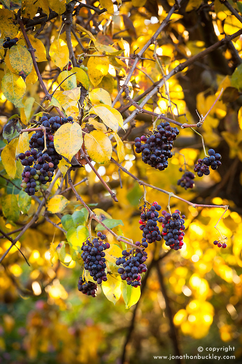 Grapevine growing over a pear tree in autumn colour. Vitis vinifera 'Incana' - Dusty Miller grape