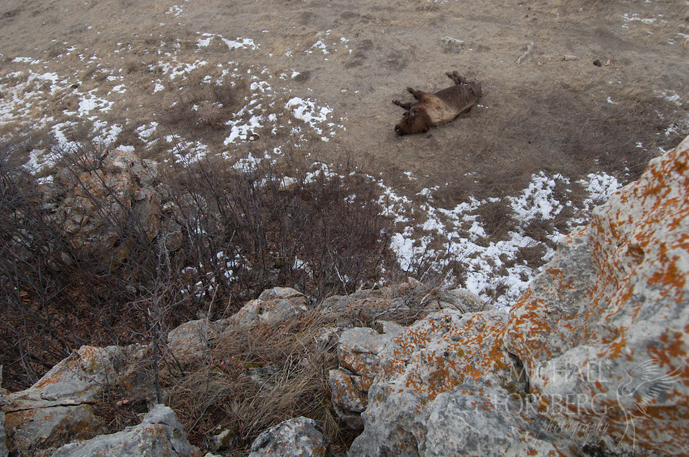 Wind Cave National Park, South Dakota<br /> <br /> Bull bison dead at base of cliff face.