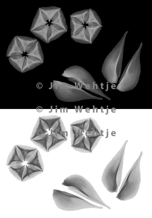 X-ray image of Japanese stewartia seeds (Stewartia pseudocamellia, grayscale) by Jim Wehtje, specialist in x-ray art and design images.