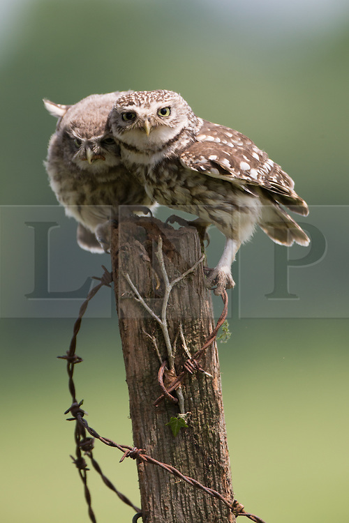 © Under license to London News Pictures. 27/06/203. Droitwich Spa, UK. A Little Owl with one of it's chicks. A Great Spotted Woodpecker holding food. A little owl and a Great Spotted Woodpecker come face to face as they clash over food while feeding their young in a nature reserve in Droitwich Spa, Worcestershire. The rare and beautiful images were captured by wildlife photographer Ian Schofield while out bird watching. Photo credit should read IAN SCHOFIELD/LNP